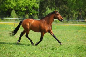 thoroughbred horse breed